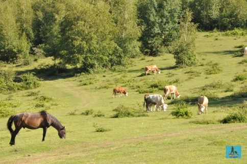 Animals on Silvania Hill's pastures in rural Salaj County