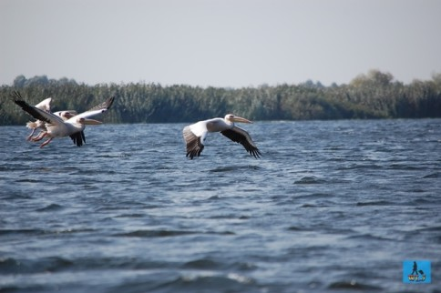 Pelicans in Danube Delta National Park, Tulcea County