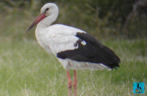 A solitary white stork in Danube Delta