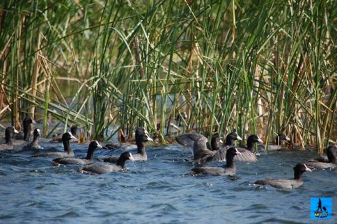 Lots of ducks are living temporarly or permanently in Danube Delta