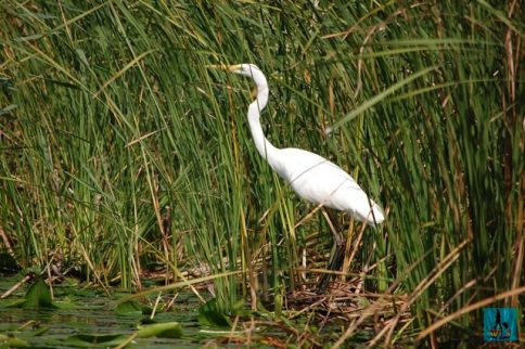 A Big Egret in Danube Delta, birds from Danube Delta