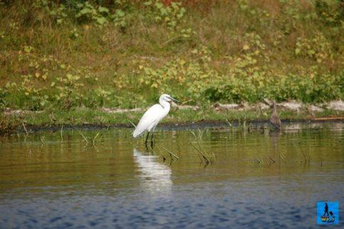 A Little Egret in Danube Delta, birds from Danube Delta