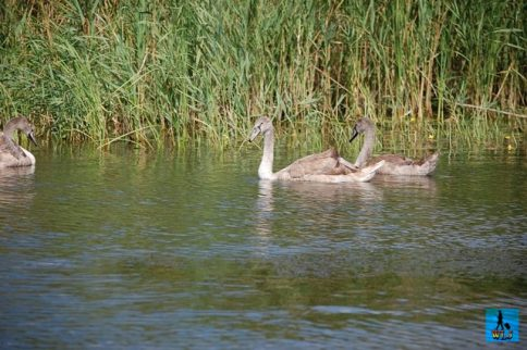 Swans are popular around the world and here also in Danube Delta