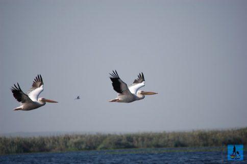 Pelicans flying above Uzlina Lake in Danube Delta