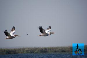 Pelicani zburând deasupra lacului Uzlina din Delta Dunării