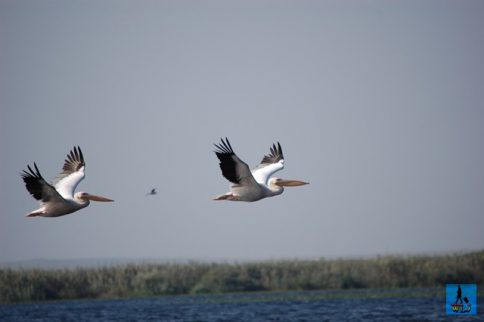 Learn about the birds from Danube Delta and their behaviour