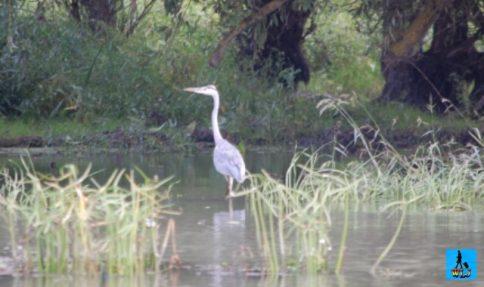 Danube Delta's Great Heron