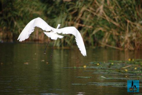 A great Egret (Ardea Alba) flying when we're approaching