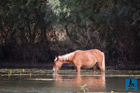 A wild horse drinking water at the side of Saint George channel