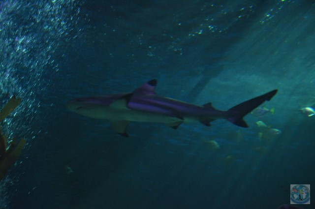 Oceanul e plin de specii de pești și alte creaturi fantastice. Dar să le vedeți îndeaproape trebuie să mergeți la un acvariu. Aici e un rechin la centrul Sea Life din Blackpool