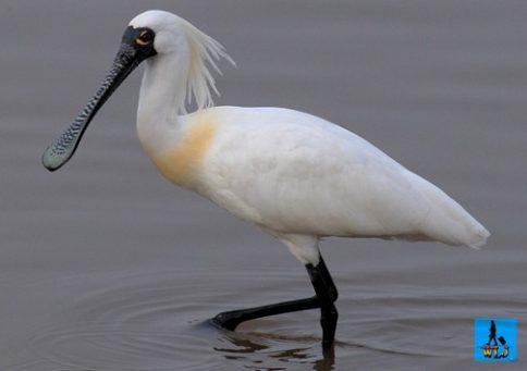 Învaţă despre păsările din Delta Dunării şi comportamentul lor